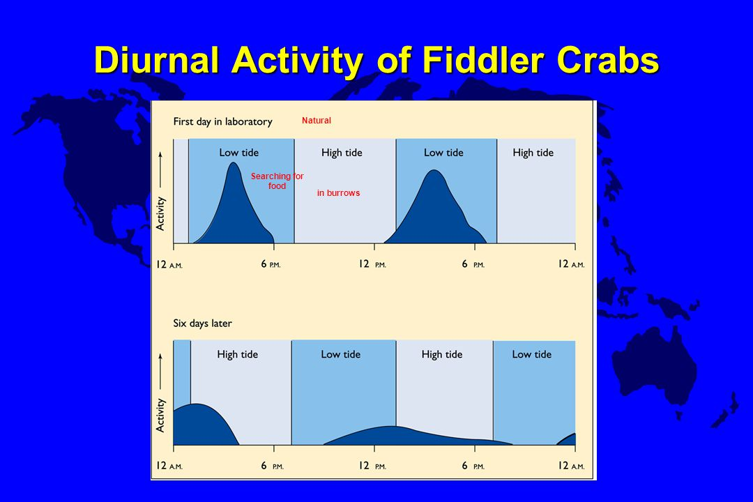 Diurnal Activity of Fiddler Crabs Natural in burrows Searching for food