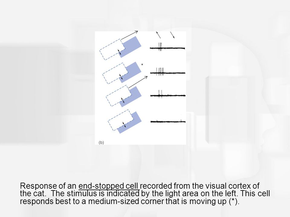 Response of an end-stopped cell recorded from the visual cortex of the cat. The stimulus is indicated by the light area on the left. This cell respond