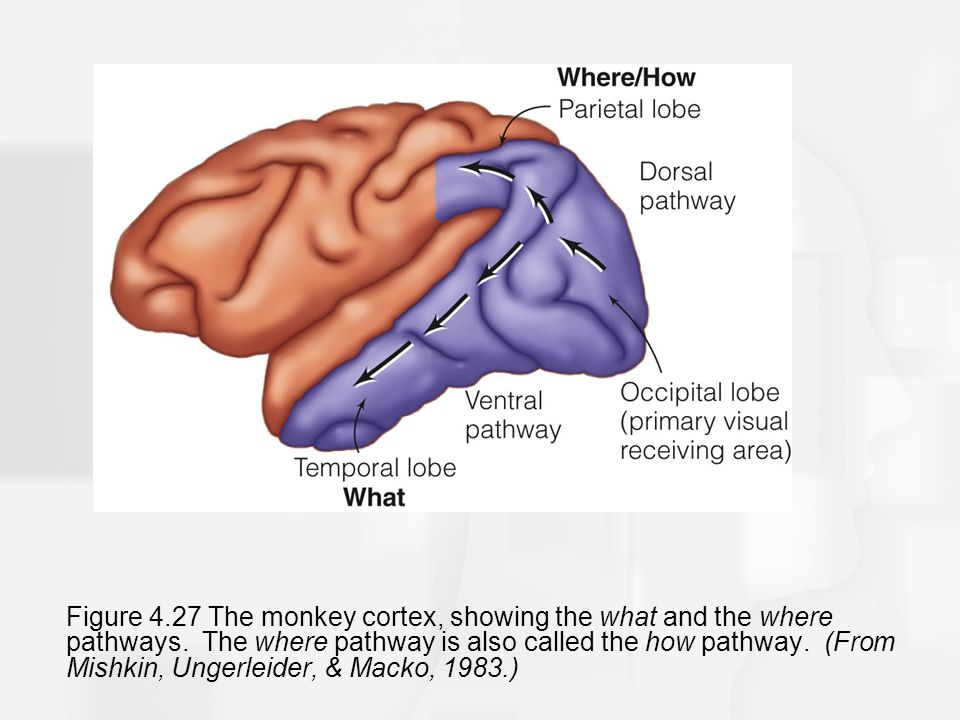 Figure 4.27 The monkey cortex, showing the what and the where pathways. The where pathway is also called the how pathway. (From Mishkin, Ungerleider,