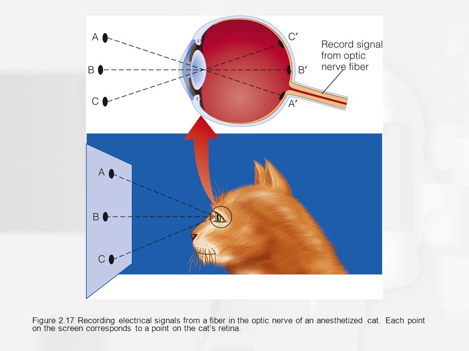 Figure 2.17 Recording electrical signals from a fiber in the optic nerve of an anesthetized cat. Each point on the screen corresponds to a point on th
