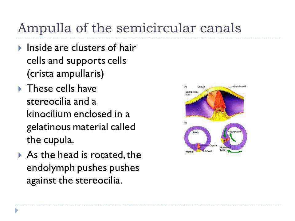 Ampulla of the semicircular canals Inside are clusters of hair cells and supports cells (crista ampullaris) These cells have stereocilia and a kinocil