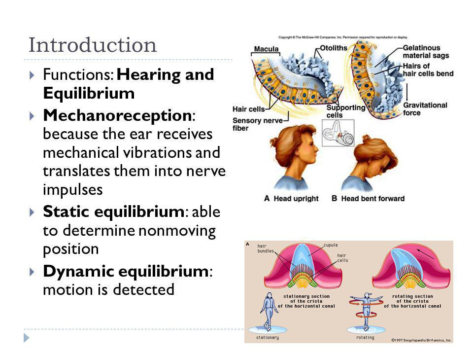 Introduction Functions: Hearing and Equilibrium Mechanoreception: because the ear receives mechanical vibrations and translates them into nerve impuls