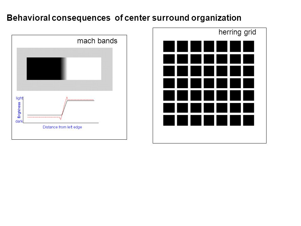 Behavioral consequences of center surround organization herring grid mach bands