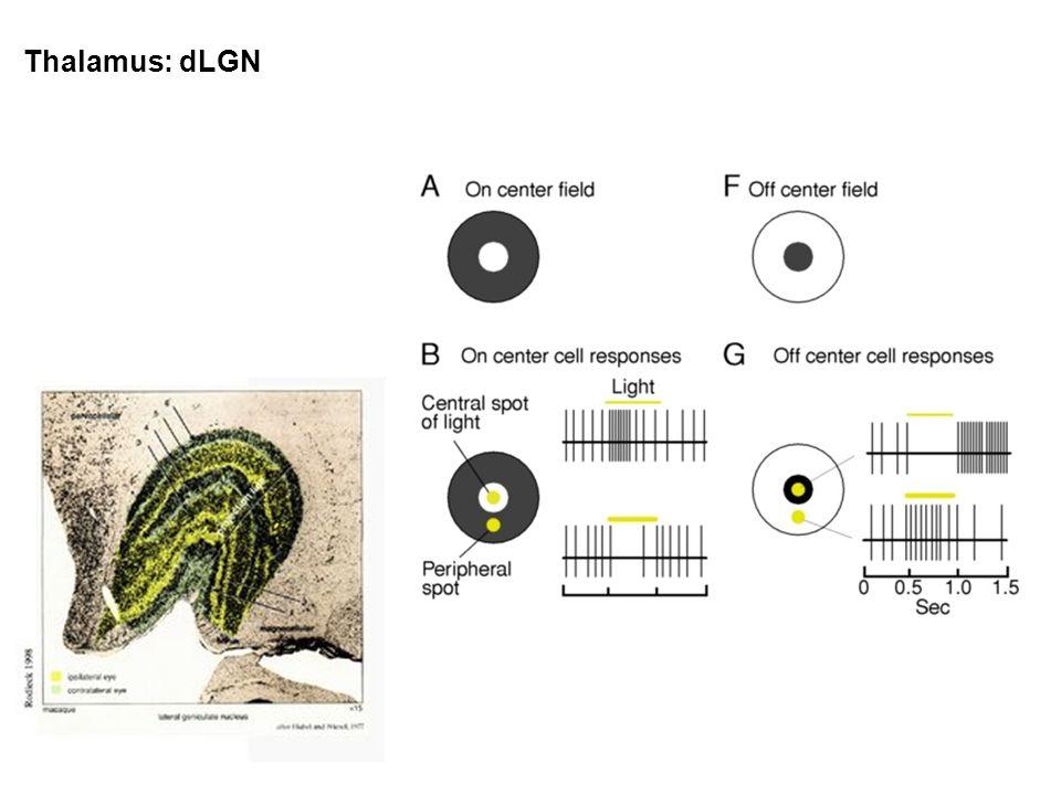 Thalamus: dLGN