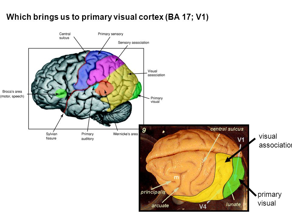 Which brings us to primary visual cortex (BA 17; V1) m visual association primary visual