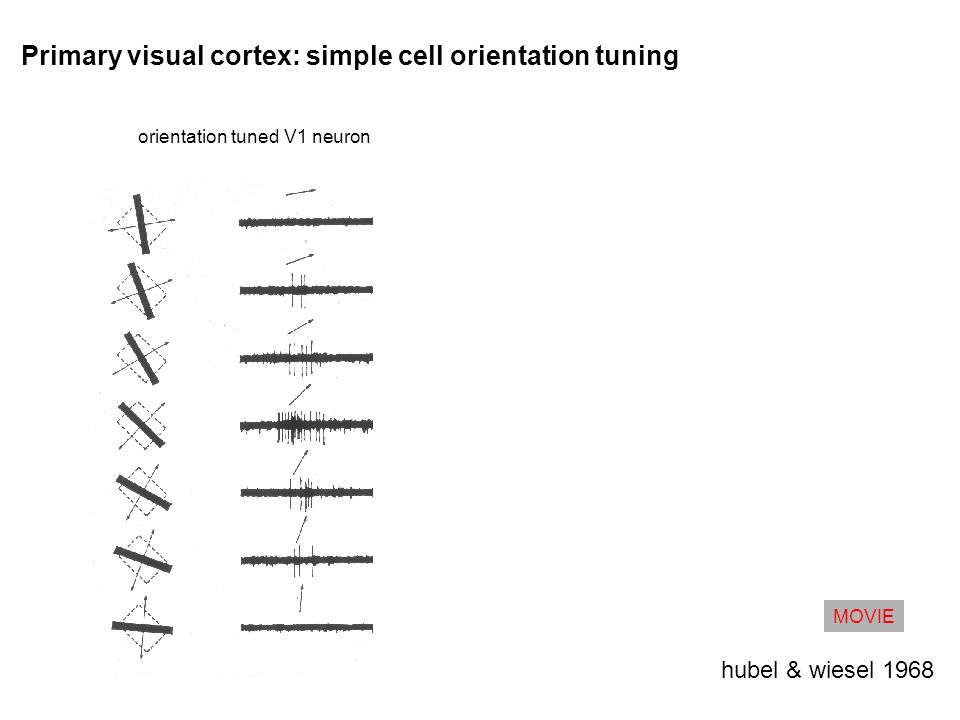 Primary visual cortex: simple cell orientation tuning hubel & wiesel 1968 orientation tuned V1 neuron MOVIE