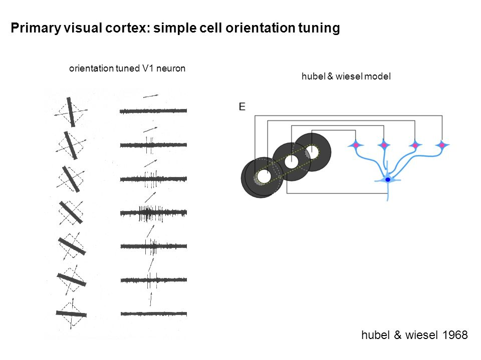 Primary visual cortex: simple cell orientation tuning hubel & wiesel 1968 orientation tuned V1 neuron hubel & wiesel model