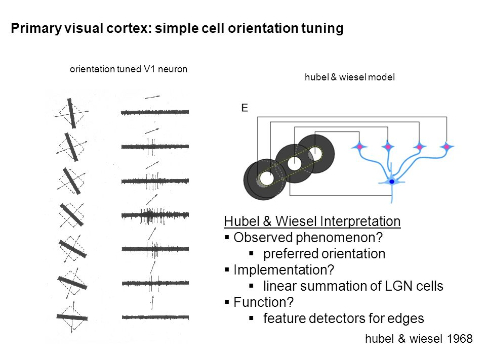 Primary visual cortex: simple cell orientation tuning hubel & wiesel 1968 orientation tuned V1 neuron hubel & wiesel model Hubel & Wiesel Interpretation Observed phenomenon.