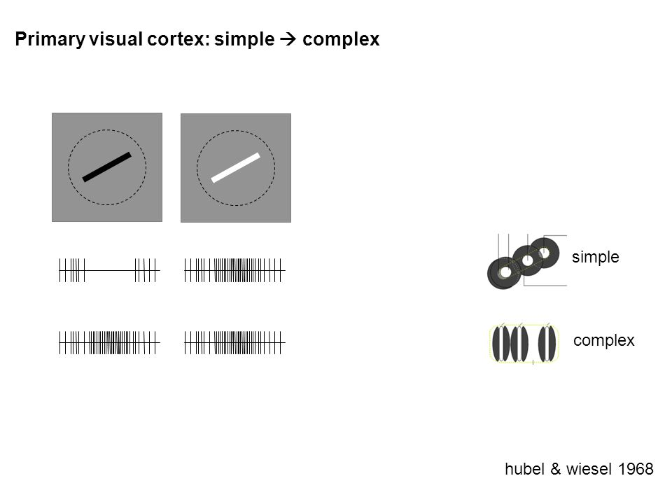 Primary visual cortex: simple complex hubel & wiesel 1968 simple complex