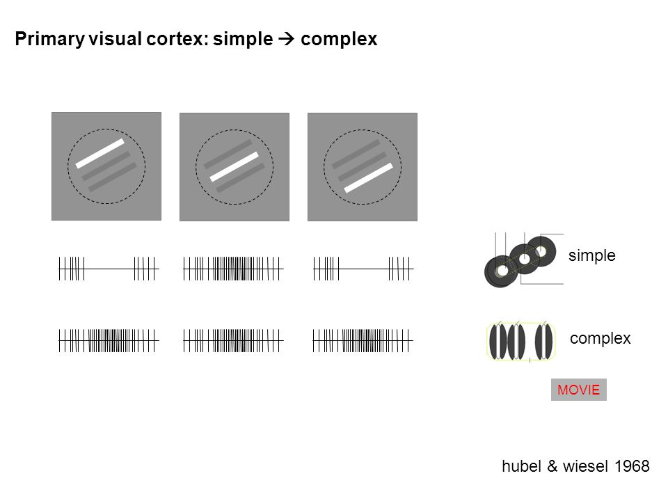 Primary visual cortex: simple complex hubel & wiesel 1968 simple complex MOVIE
