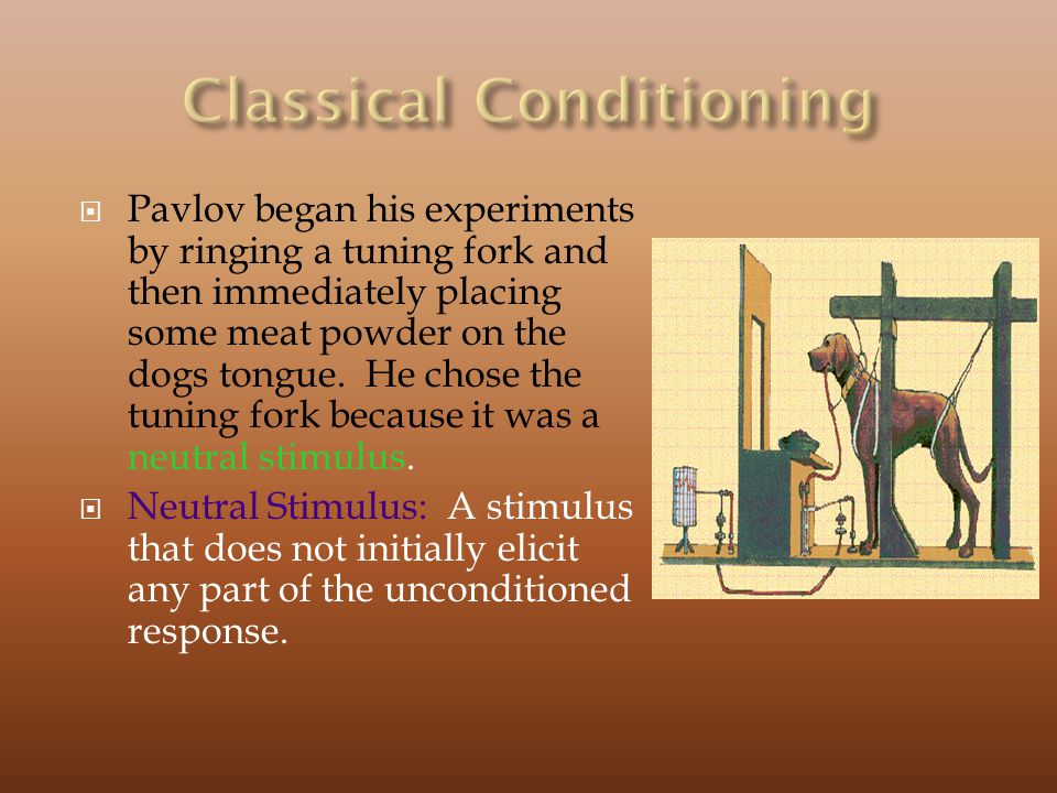 Pavlov began his experiments by ringing a tuning fork and then immediately placing some meat powder on the dogs tongue.