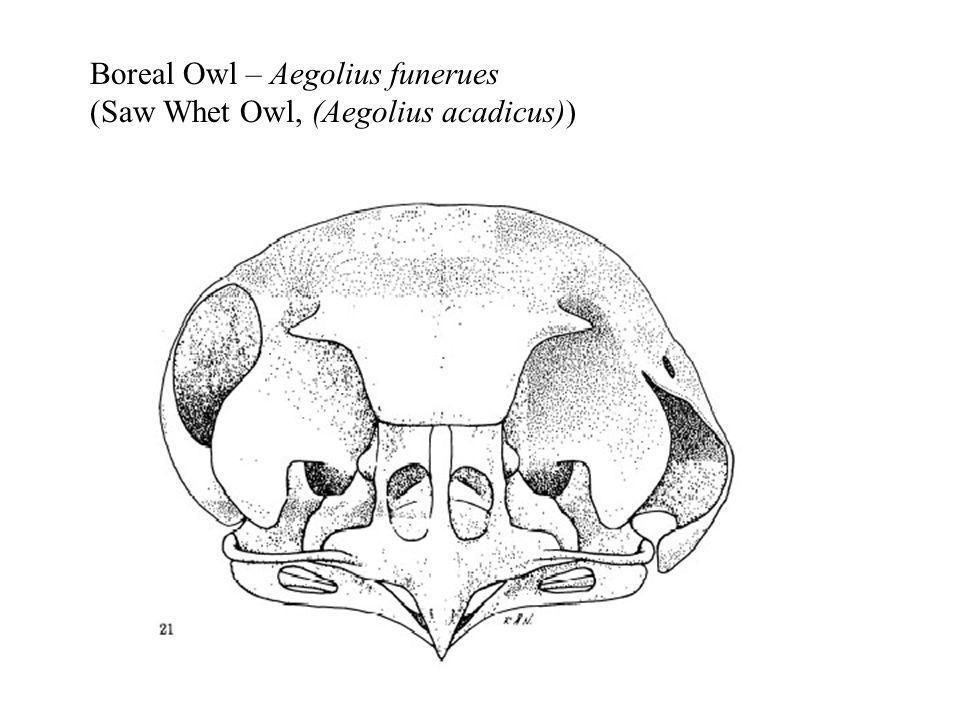 Boreal Owl – Aegolius funerues (Saw Whet Owl, (Aegolius acadicus))