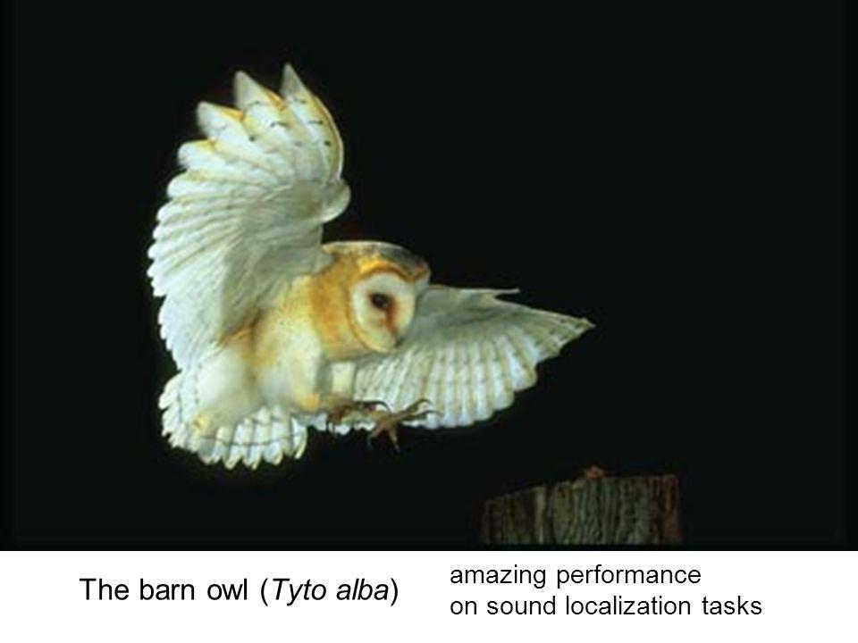 The barn owl (Tyto alba) amazing performance on sound localization tasks