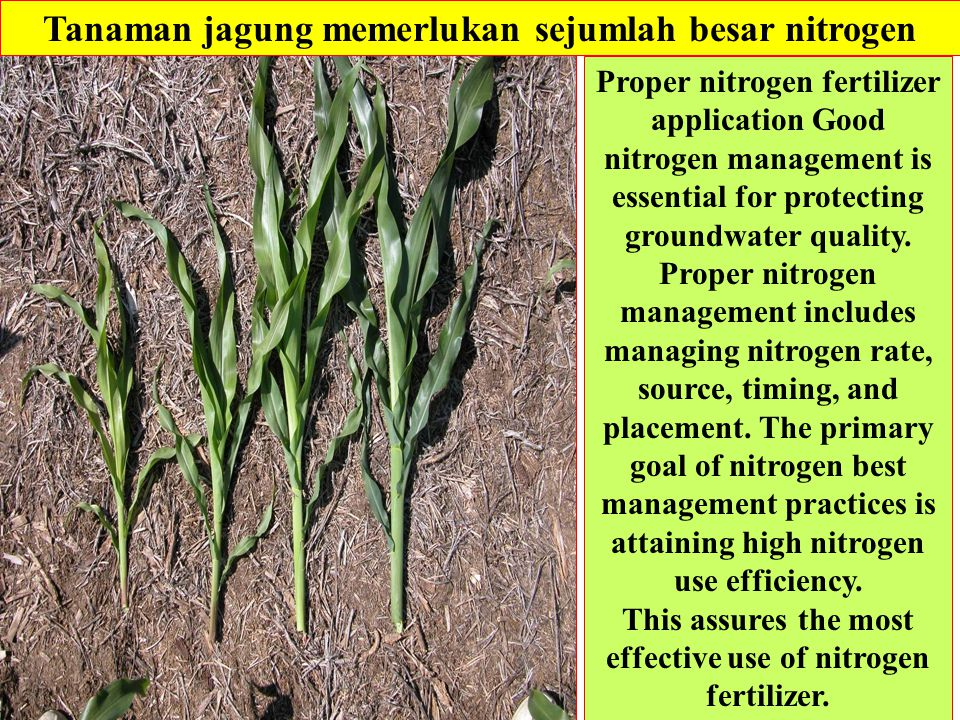 Tanaman jagung memerlukan sejumlah besar nitrogen Proper nitrogen fertilizer application Good nitrogen management is essential for protecting groundwater quality.