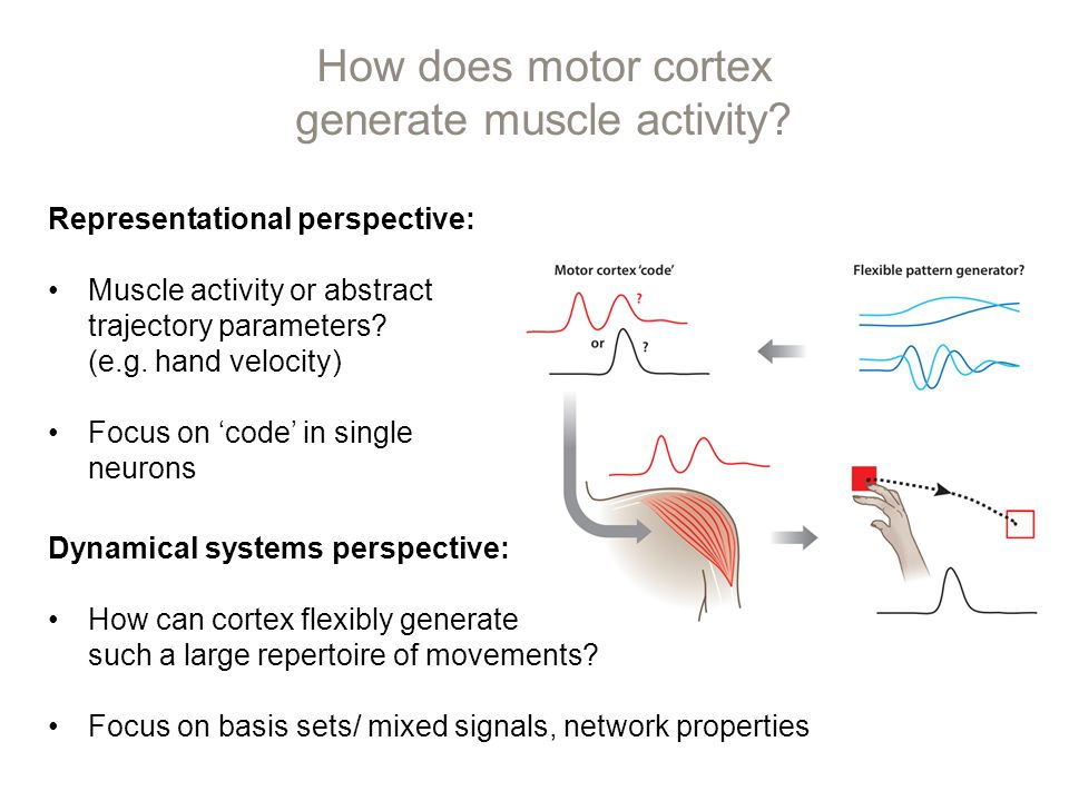 How does motor cortex generate muscle activity.