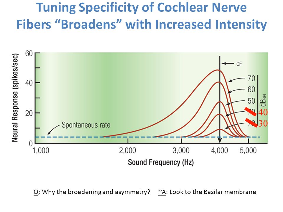Tuning Specificity of Cochlear Nerve Fibers Broadens with Increased Intensity Q: Why the broadening and asymmetry? ~A: Look to the Basilar membrane