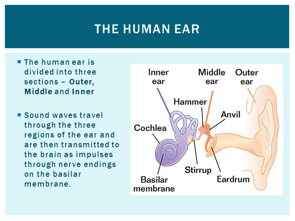 The human ear is divided into three sections – Outer, Middle and Inner Sound waves travel through the three regions of the ear and are then transmitted to the brain as impulses through nerve endings on the basilar membrane.