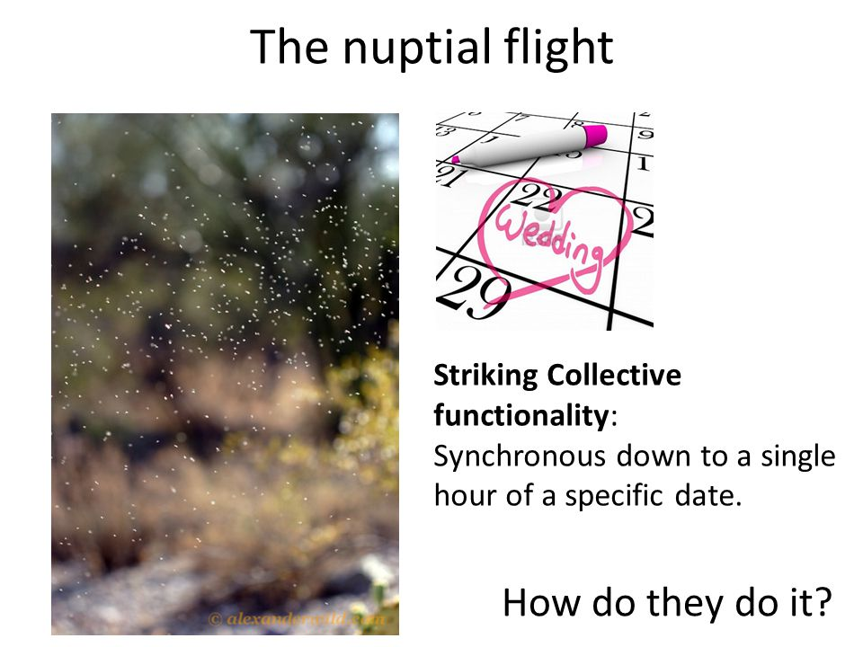The nuptial flight Striking Collective functionality: Synchronous down to a single hour of a specific date.