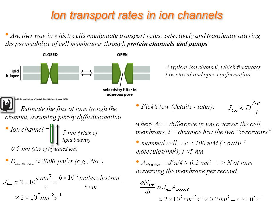 Ion transport rates in ion channels Another way in which cells manipulate transport rates: selectively and transiently altering the permeability of cell membranes through protein channels and pumps A typical ion channel, which fluctuates btw closed and open conformation Estimate the flux of ions trough the channel, assuming purely diffusive motion Ion channel = D small ions 2000 m 2 /s (e.g., Na + ) 5 nm (width of lipid bilayer) 0.5 nm (size of hydrated ion) Ficks law (details - later): where c = difference in ion c across the cell membrane, l = distance btw the two reservoirs mammal.cell: c 100 mM ( 6 10 –2 molecules/nm 3 ); l 5 nm A channel = d 2 /4 0.2 nm 2 => N of ions traversing the membrane per second: