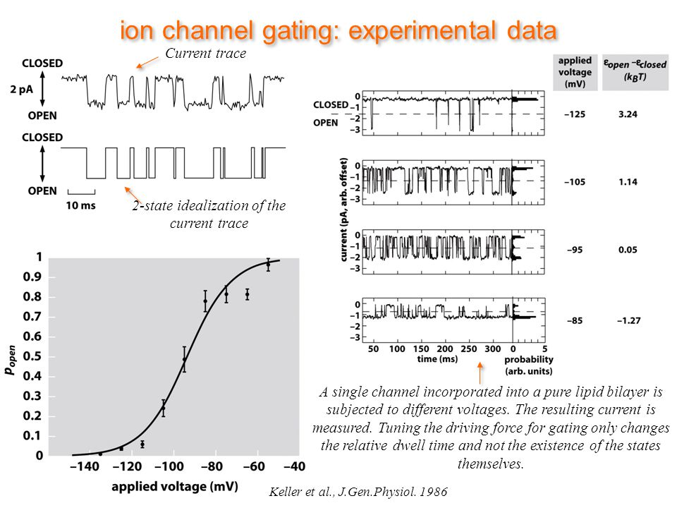ion channel gating: experimental data Current trace 2-state idealization of the current trace A single channel incorporated into a pure lipid bilayer is subjected to different voltages.