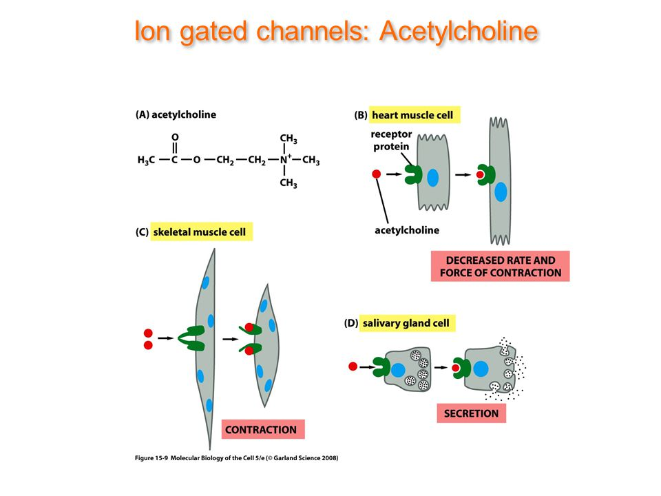 Ion gated channels: Acetylcholine