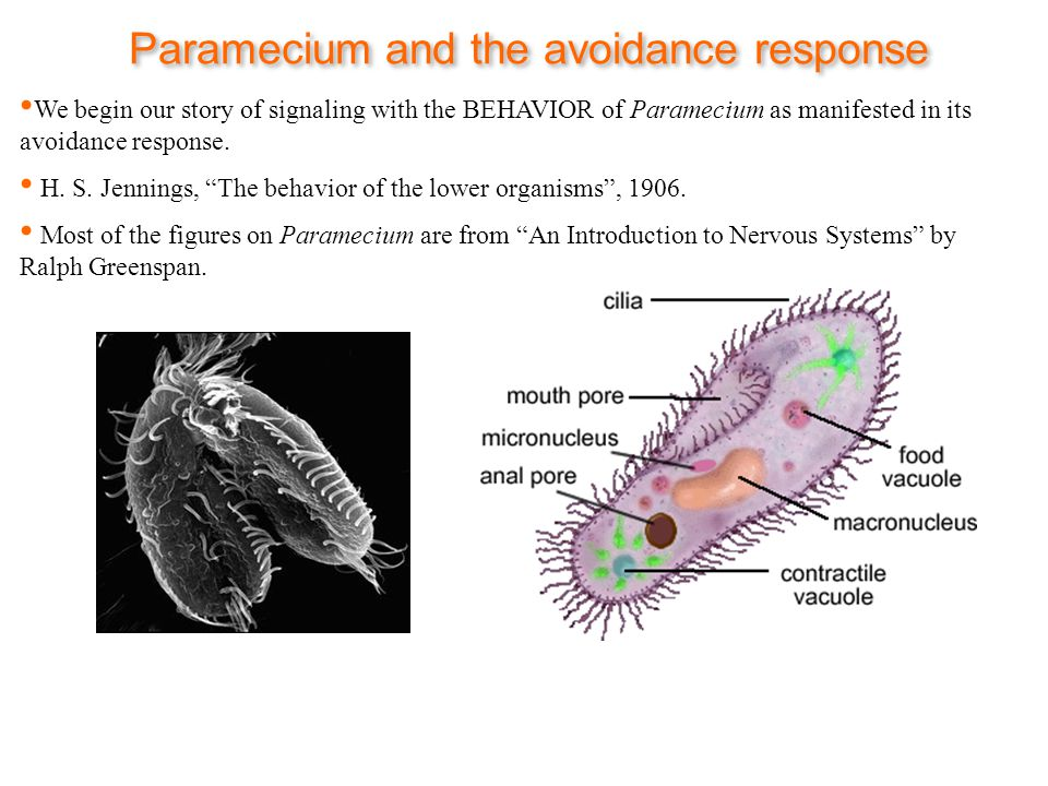 Paramecium and the avoidance response We begin our story of signaling with the BEHAVIOR of Paramecium as manifested in its avoidance response.
