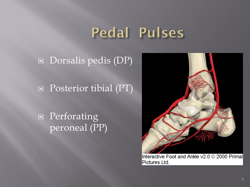 6 Dorsalis pedis (DP) Posterior tibial (PT) Perforating peroneal (PP)