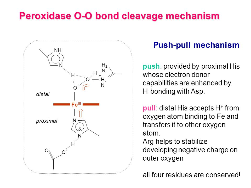 Peroxidase O-O bond cleavage mechanism N NH Fe III N N H O- O- - O O O H H H2NH2N H2NH2N Push-pull mechanism distal proximal push: provided by proximal His whose electron donor capabilities are enhanced by H-bonding with Asp.