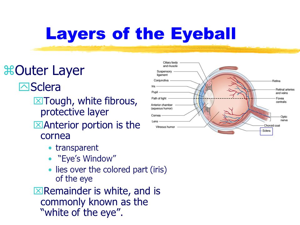 Layers of the Eyeball zMiddle Layer yChoroid coat xContains the blood vessels that supply the eye xAnterior portion has three separate structures Iris –the colored part of the eye –shaped like a donut –attaches to the ciliary body –opening in the middle is called the pupil Ciliary Body –muscular ring that alters the shape of the iris Suspensory Ligament –structure that holds the lens in place