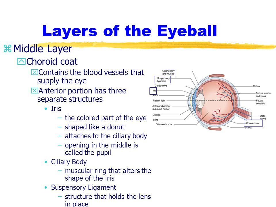 Layers of the Eyeball zInner Layer yRetina xThe camera of the eye receives image formed by the lens xOnly in the posterior portion of the eye xconsists of specialized nerve tissue for the reception of light xStructure upon which light rays come to focus xContains tiny receptors rods - night vision cones - day vision xOptic Nerve conducts impulses from the receptors to the brain