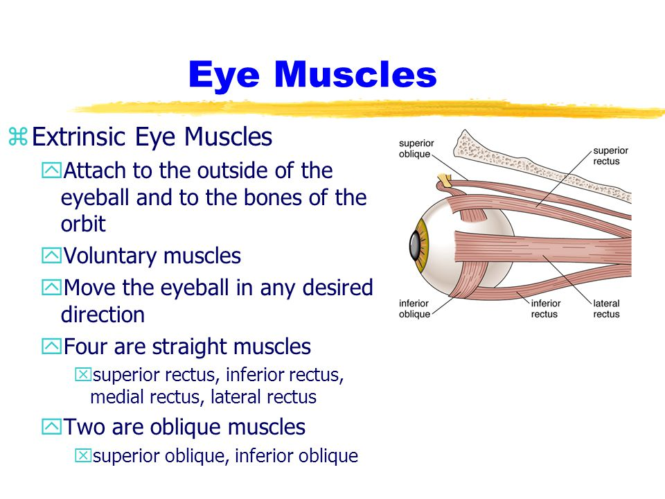 Eye Muscles zIntrinsic Eye Muscles yLocated inside the eyeball yTwo involuntary muscles xIris donut shaped sphincter muscle regulates the size of the pupil; amount of light entering eye xCiliary Body flattened ring the size of the iris alters the shape of the iris changes the focus of the lens; adjusts the eye for distant and close-up vision