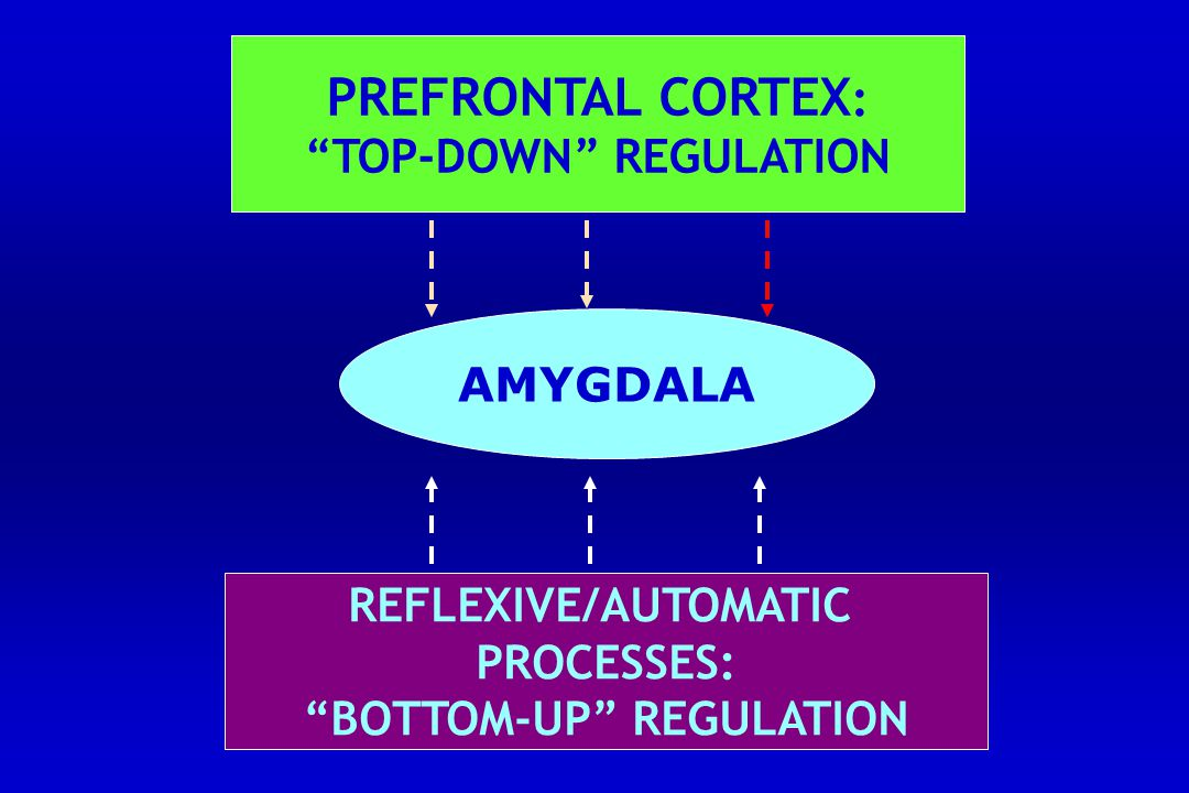 AMYGDALA PREFRONTAL CORTEX : TOP-DOWN REGULATION REFLEXIVE/AUTOMATIC PROCESSES: BOTTOM-UP REGULATION
