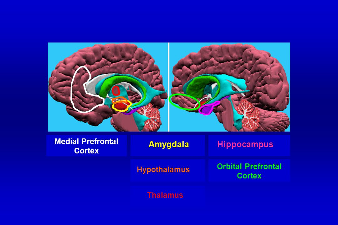 Hippocampus Thalamus Amygdala Medial Prefrontal Cortex Hypothalamus Orbital Prefrontal Cortex