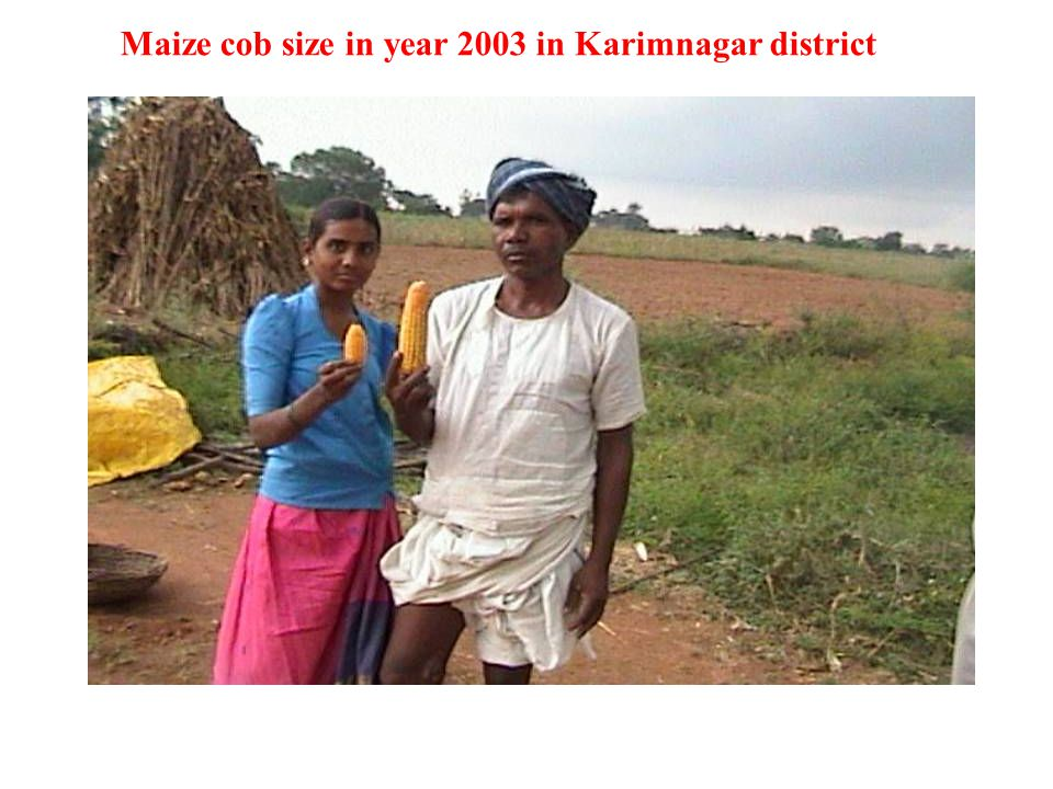 10 July 15 June Maize cob size in year 2003 in Karimnagar district