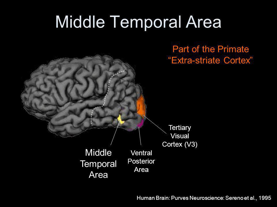 Middle Temporal Area Middle Temporal Area Ventral Posterior Area Tertiary Visual Cortex (V3) Part of the Primate Extra-striate Cortex Human Brain: Purves Neuroscience: Sereno et al., 1995