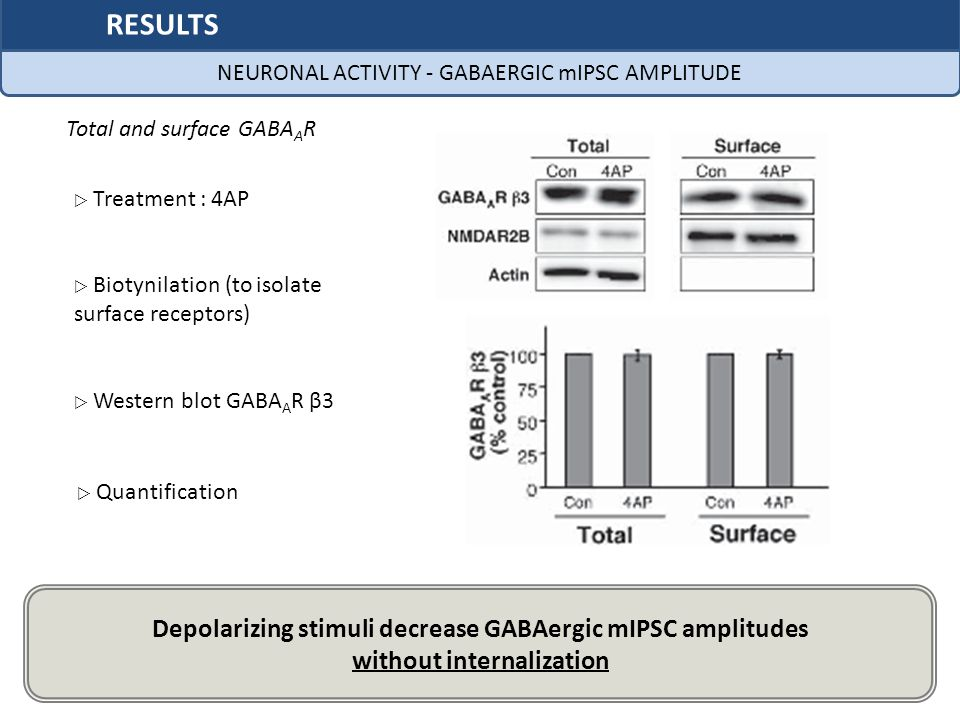 No difference between total and surface receptors amounts Biotynilation (to isolate surface receptors) Western blot GABA A R β3 Quantification Depolarizing stimuli decrease GABAergic mIPSC amplitudes without internalization NEURONAL ACTIVITY - GABAERGIC mIPSC AMPLITUDE RESULTS Treatment : 4AP Total and surface GABA A R