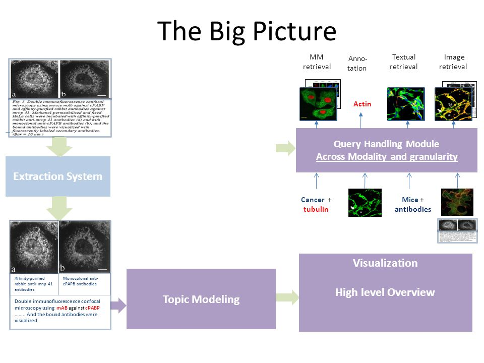 The Big Picture Extraction System Topic Modeling Affinity-purified rabbit antir mnp 41 antibodies Monocolonal anti- cPAPB antibodies Double immunofluorescence confocal microscopy using mAB against cPABP ……..
