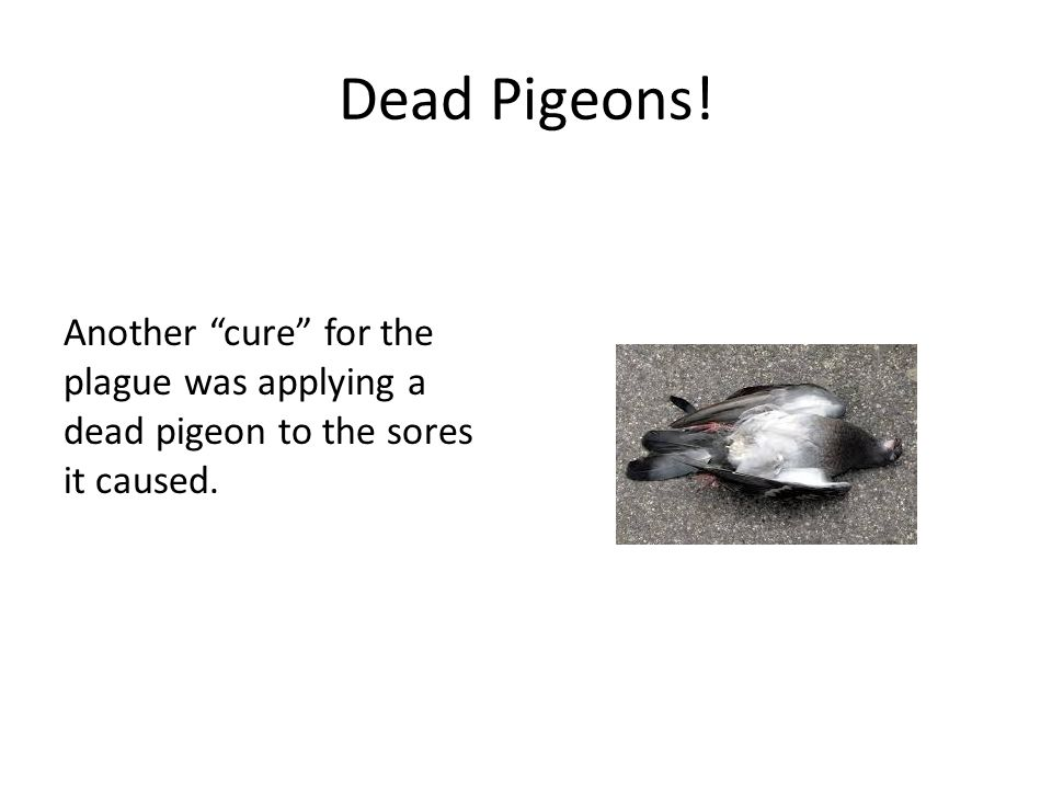 Dead Pigeons! Another cure for the plague was applying a dead pigeon to the sores it caused.