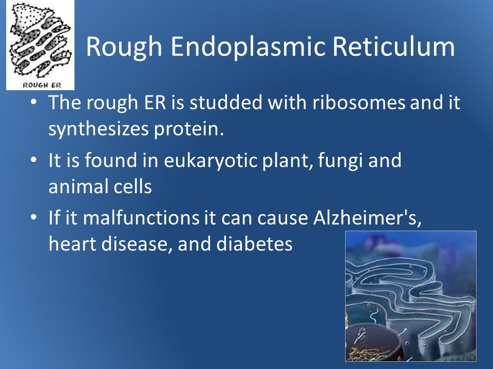 Rough Endoplasmic Reticulum The rough ER is studded with ribosomes and it synthesizes protein.