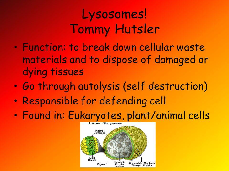 Lysosomes.
