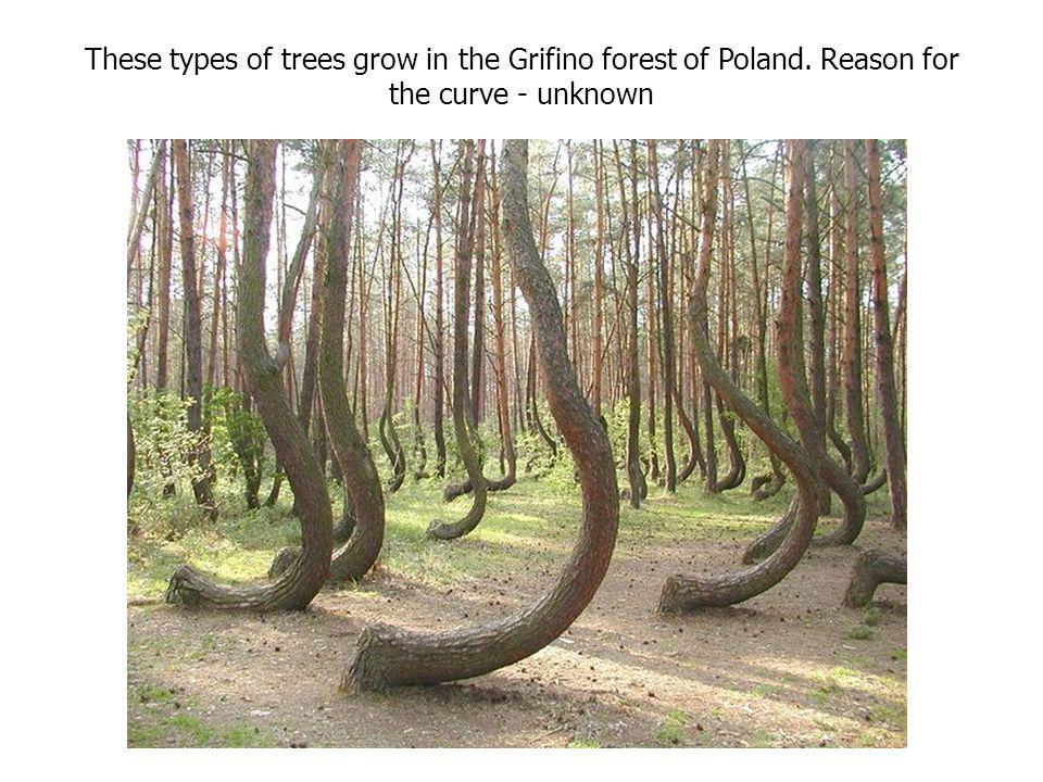 These types of trees grow in the Grifino forest of Poland. Reason for the curve - unknown