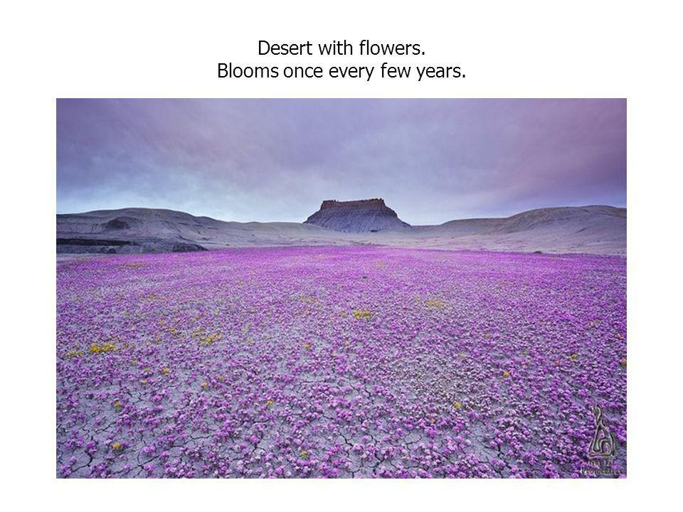 Desert with flowers. Blooms once every few years.