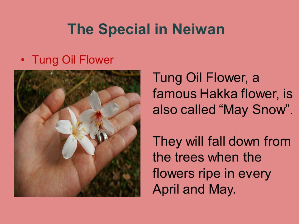 The Special in Neiwan Tung Oil Flower Tung Oil Flower, a famous Hakka flower, is also called May Snow.
