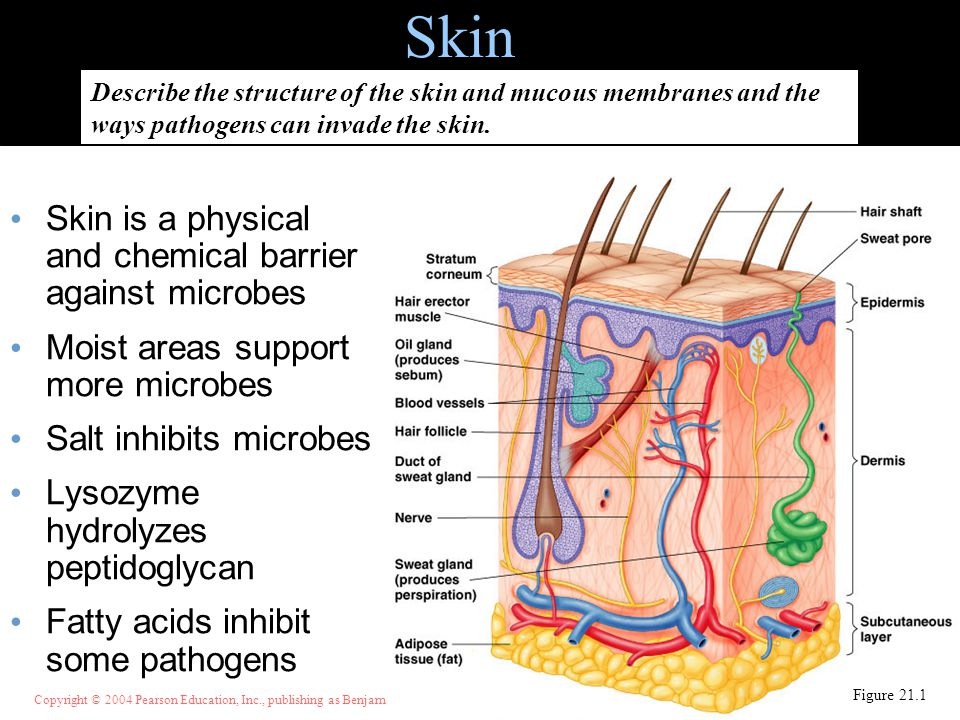 Copyright © 2004 Pearson Education, Inc., publishing as Benjamin Cummings Skin Skin is a physical and chemical barrier against microbes Moist areas su