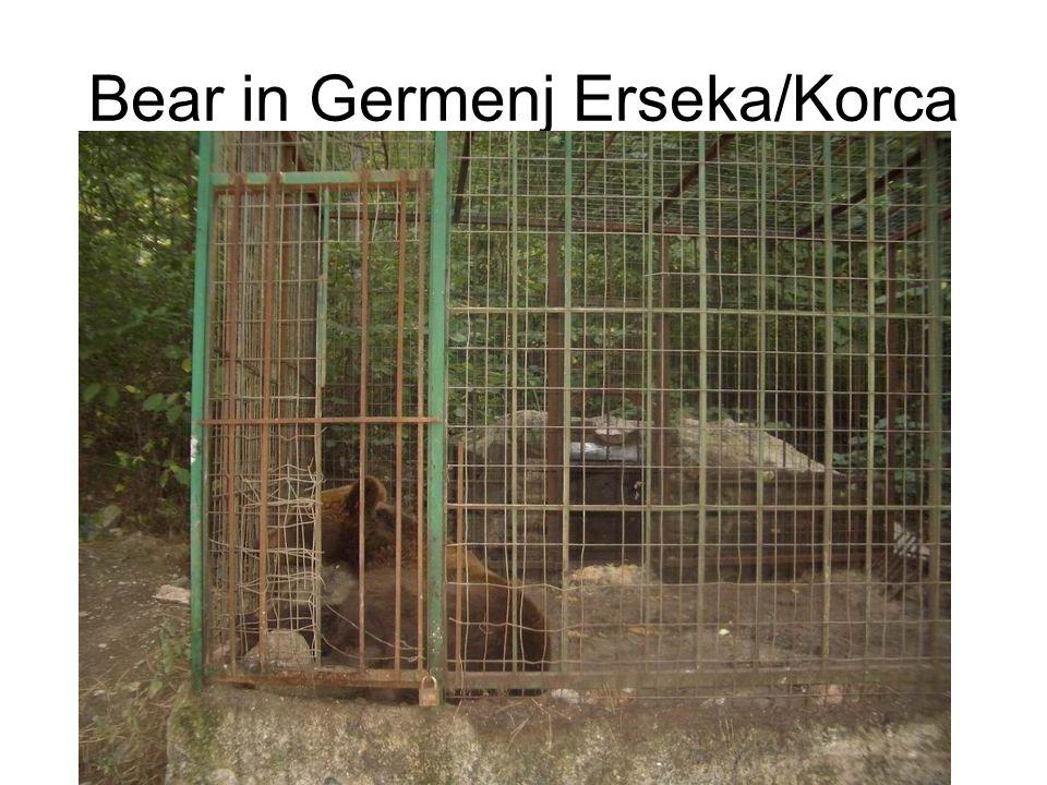Bear in Germenj Erseka/Korca
