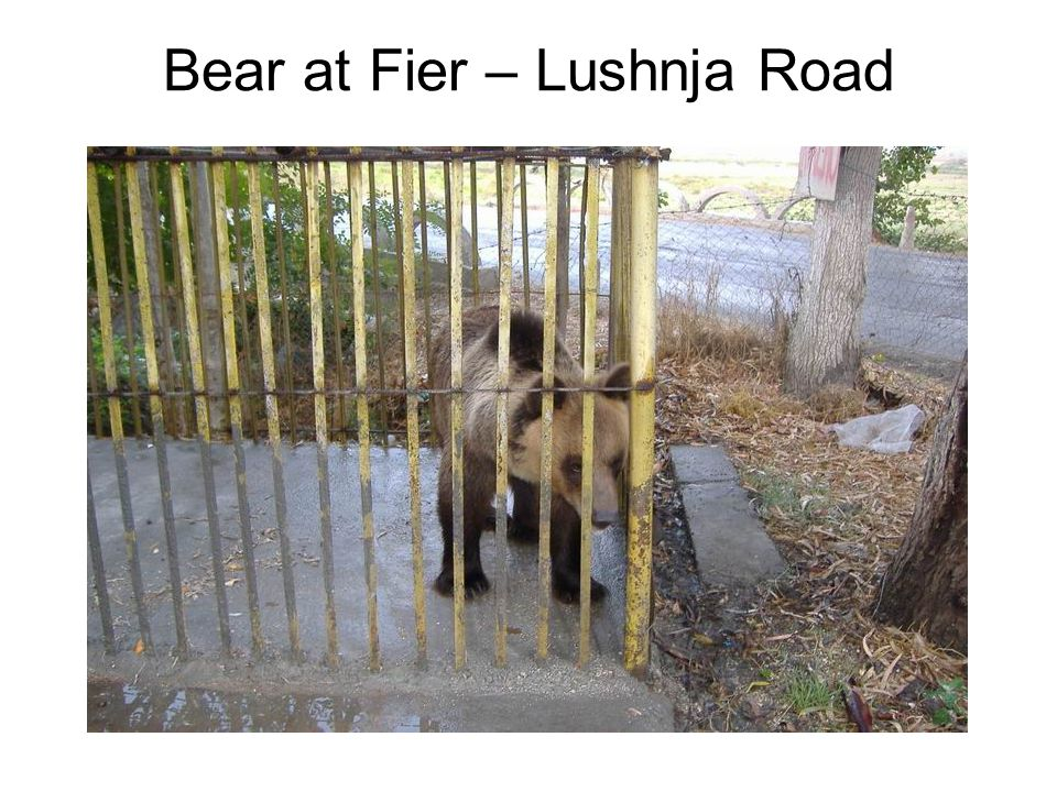 Bear at Fier – Lushnja Road