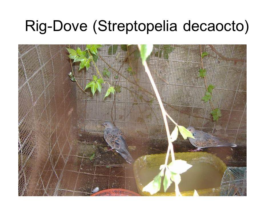 Rig-Dove (Streptopelia decaocto)
