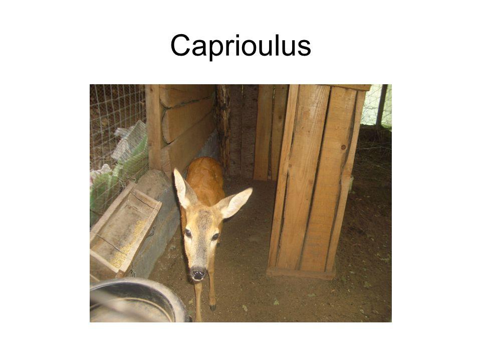 Caprioulus