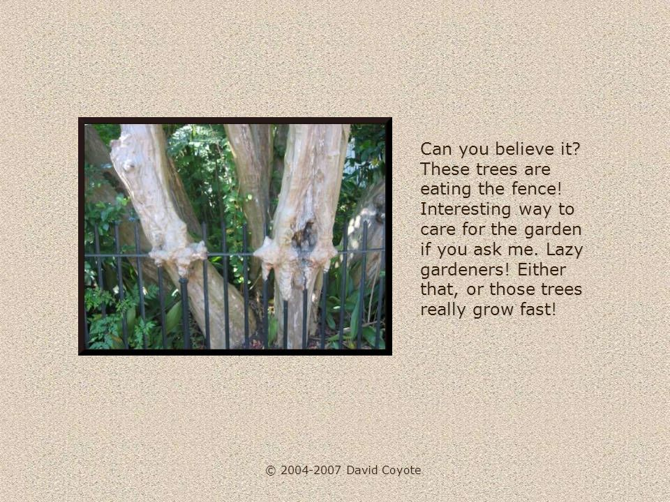 © 2004-2007 David Coyote Can you believe it. These trees are eating the fence.