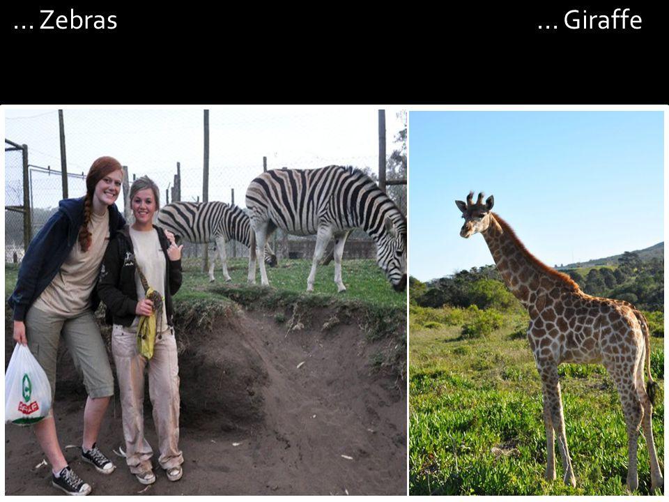 ... Zebras... Giraffe